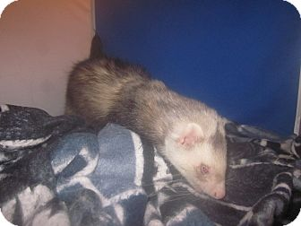 Ferret for adoption in Toledo, Ohio - Spock