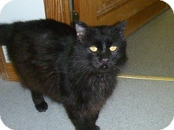 Domestic Mediumhair Cat for Sale in Hamburg, New York - Mimortor