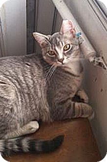 Domestic Shorthair Cat for adoption in Lincoln, Nebraska - Ari