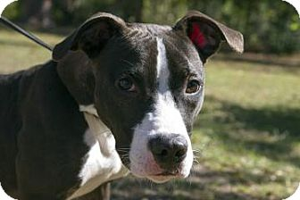 American Pit Bull Terrier Mix Dog for Sale in Gainesville, Florida - Davis