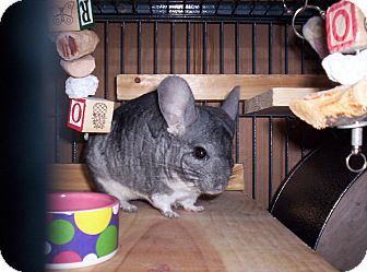 Chinchilla for Sale in Avondale, Louisiana - Chum Chum