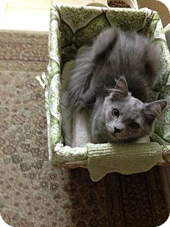 Russian Blue Kitten for Sale in Modesto, California - Dana