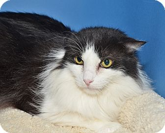 Maine Coon Cat for adoption in Ranch Palos Verdes, California - Charlie