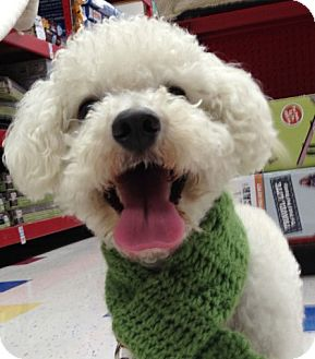 Bichon Frise Dog for adption in Long Beach, California - Nicky