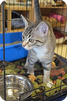 Domestic Shorthair Kitten for Sale in Houston, Texas - Attie