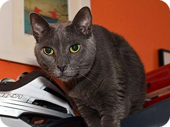 Russian Blue Cat for Sale in Brooklyn, New York - Sugar Daddy