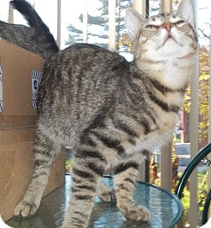 Domestic Shorthair Cat for Sale in Acme, Pennsylvania - Brisko
