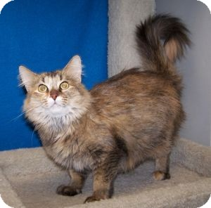 Domestic Mediumhair Cat for Sale in Colorado Springs, Colorado - Talia