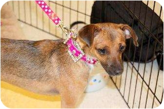 Chihuahua Mix Dog for adption in Chino, California - Macy