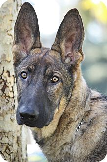 German Shepherd Dog Puppy for Sale in Los Angeles, California - Trevor von Torme