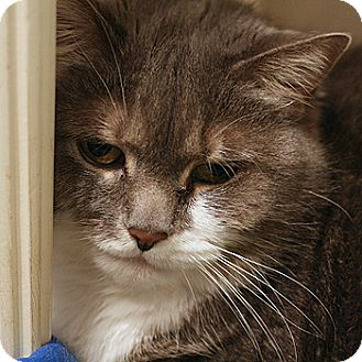 Domestic Shorthair Cat for adoption in Columbia, Maryland - Daisy