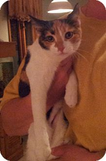 Domestic Shorthair Cat for Sale in Troy, Ohio - Pot Luck