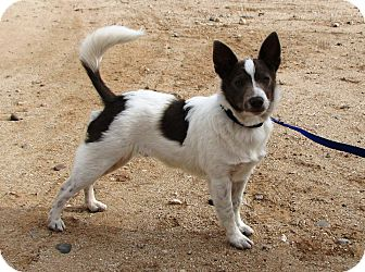 Australian Cattle Dog/Rat Terrier Mix Puppy for Sale in Scottsdale, Arizona - Pilot - Adoption Pending