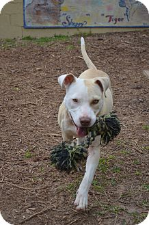 American Staffordshire Terrier Mix Dog for Sale in Houston, Texas - Ellie