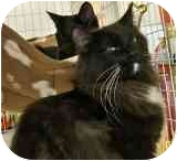 Domestic Longhair Cat for adoption in Sacramento, California - C C