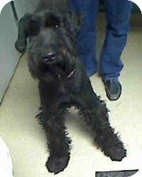 Giant Schnauzer Dog for Sale in Phoenix, Arizona - Lucy