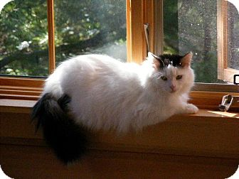 Domestic Mediumhair Cat for Sale in Emsdale (Huntsville), Ontario - Belle - So loving!