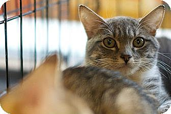 Domestic Shorthair Kitten for adoption in New York, New York - Jesi