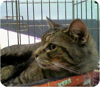 Domestic Mediumhair Cat for adoption in New York, New York - Pokey