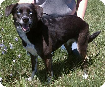 Feist/Border Collie Mix Dog for Sale in Lisbon, Ohio - Princess