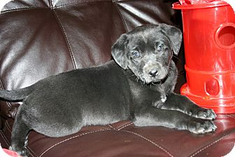 Cocker Spaniel/Labrador Retriever Mix Puppy for Sale in Glastonbury, Connecticut - Moon