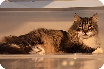 Maine Coon Cat for adoption in Deerfield Beach, Florida - Machu