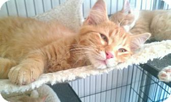 Domestic Shorthair Kitten for adoption in Kenosha, Wisconsin - Kittens