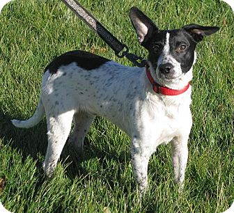 Rat Terrier/Australian Cattle Dog Mix Dog for Sale in Lisbon, Ohio - Porter