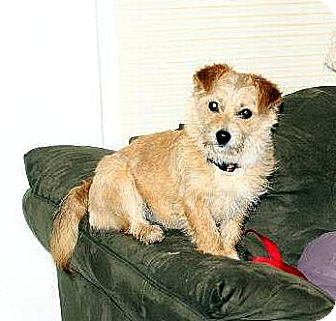 Cairn Terrier Mix Dog for Sale in Niagra Falls, New York - Macy
