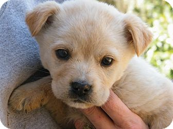 Chow Chow/Golden Retriever Mix Puppy for Sale in Anywhere, Connecticut - CC