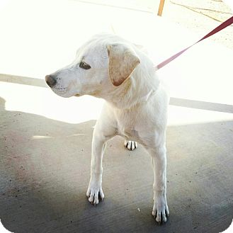 Labrador Retriever Mix Dog for Sale in Scottsdale, Arizona - Charlize