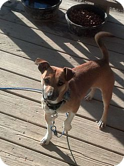 Jack Russell Terrier Mix Dog for Sale in Rising Sun, Indiana - Willie