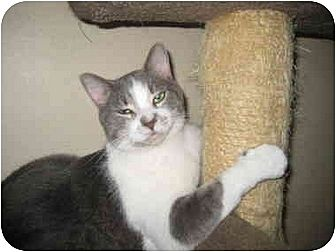 Domestic Shorthair Cat for adoption in Deerfield Beach, Florida - Dori