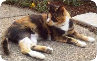 Calico Cat for adoption in Brush Prairie, Washington - Daphne