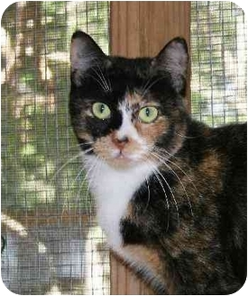 Calico Cat for adoption in Houston, Texas - Venus