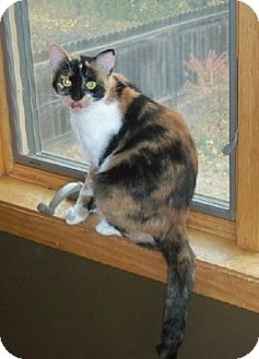 Domestic Shorthair Cat for adoption in Sioux Falls, South Dakota - Raquel
