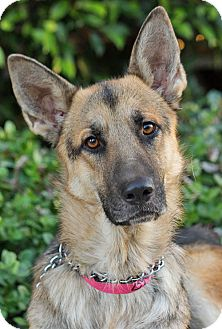 German Shepherd Dog Dog for Sale in Los Angeles, California - Marin von Mirow