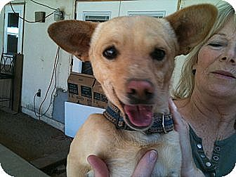 Chihuahua/Terrier (Unknown Type, Small) Mix Dog for adption in Phoenix, Arizona - Mr. T