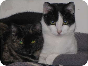 Domestic Shorthair Cat for adoption in Roseville, Minnesota - Max and Percy