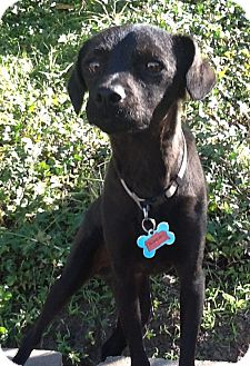 Terrier (Unknown Type, Small)/Patterdale Terrier (Fell Terrier) Mix Dog for Sale in San Diego, California - JORDAN