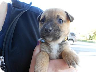 German Shepherd Dog Mix Puppy for Sale in Atascadero, California - Blake