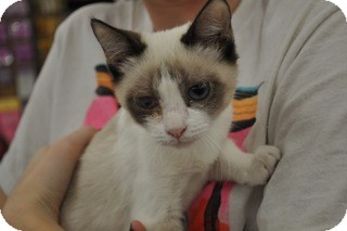 Siamese Kitten for Sale in La Canada Flintridge, California - Piccolo