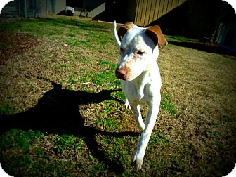 Pointer Mix Dog for Sale in Gadsden, Alabama - Pinta