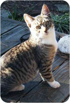 American Shorthair Cat for adoption in Richmond, California - Alice