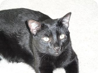 Domestic Shorthair Cat for adoption in Kenosha, Wisconsin - Abu