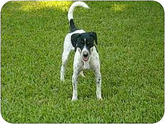 Australian Cattle Dog/Jack Russell Terrier Mix Dog for adption in Rayville, Louisiana - Duran