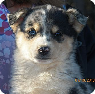 Husky/Catahoula Leopard Dog Mix Puppy for Sale in Sussex, New Jersey - Phantom