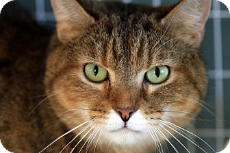 Domestic Shorthair Cat for Sale in Gaithersburg, Maryland - Ramsey