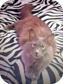Domestic Longhair Cat for adoption in Houston, Texas - Gabby