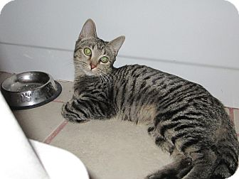 Domestic Shorthair Kitten for adoption in Tucson, Arizona - Delilah